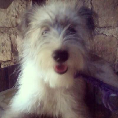 hello, I'm Velvet :) #igster #pet #dog #schnauzer #cute #smile