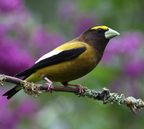 fuckyeabirds:  Evening Grosbeak