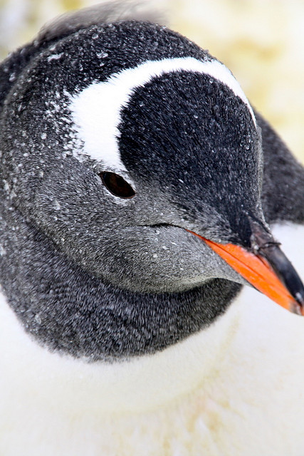gentoo penguin - manchot papou by chogori20 on Flickr.