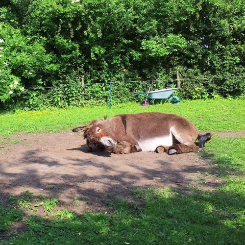 donkeys âne burro Oscar summertime snooze I love donkeys adorable animals veganblr veganlife