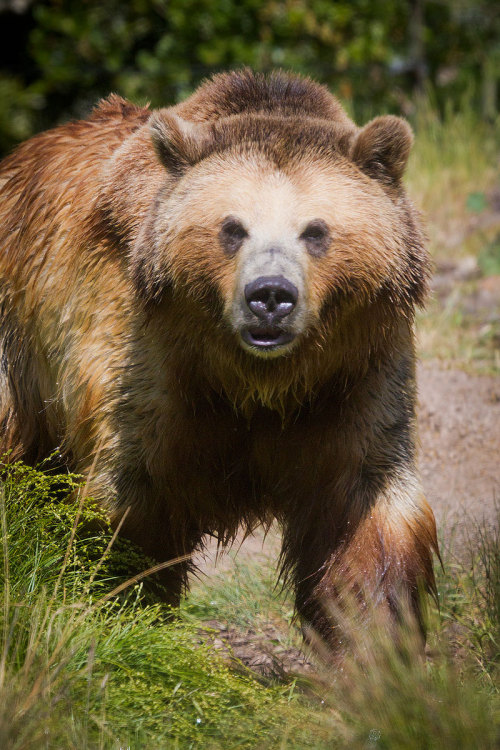 jaws-and-claws:  Grizzly Approach by ~StevenDavisPhoto