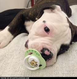 Sweet American Bulldog puppy with a baby pacifier Via @goncakayaa For more cute dogs and puppies