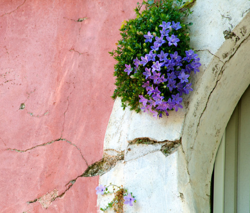 ysvoice:  | ♕ |  Campanula at the gate in Ravello  | by © jayteacat