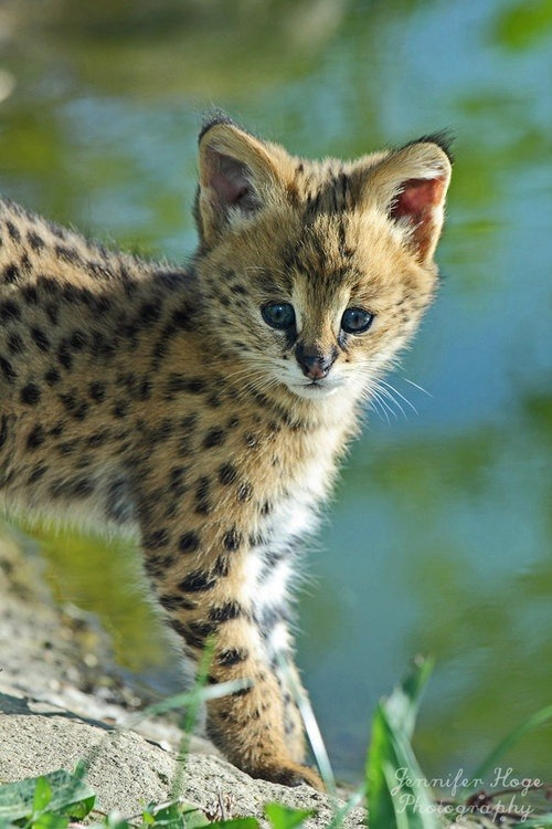 earthlynation:  serval kitten by jenna hope photography