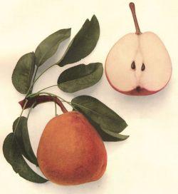 vervediary:Pear by Frederick Clapp.