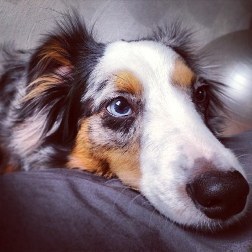 Mr #longstout #riot #dog #puppy #aussie #australianshepherd #morning #wakeup  (at The AlyKat)