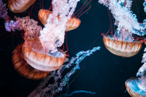 Jellyfish (by chase_elliott)