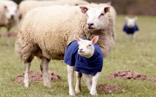 Ola k ase :) allcreatures:   Lambs wearing coats in Herefordshire as they were struggling with the Spring cold weather.  Picture: Newsteam (via Animal pictures of the week - Telegraph)