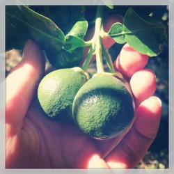 Grapefruits-in-progress #overachieving #grapefruittree #urbanfarming