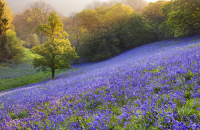 "morgondagg:  ""Bluebell meadow, Dorset"" by Simon Byrne"