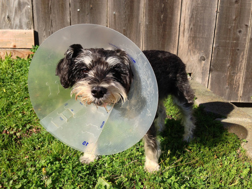 Jerri Sherri with an Elizabethan collar. on Flickr.