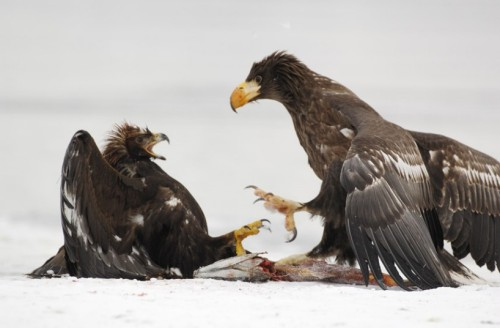 A Steller's sea eagle steals a golden eagle's prey in Kamchatka, Russia.  Picture: Igor Shpilenok / Barcroft Media