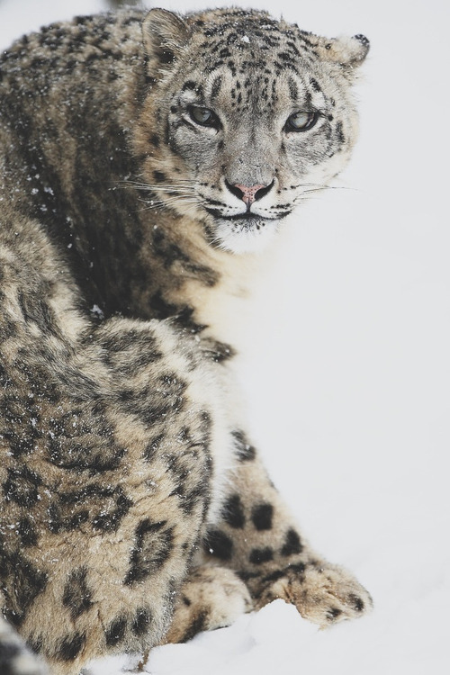 darkw00ds:  Snow Leopard