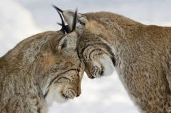 phototoartguy:  Affection: Lynxes nuzzle each other