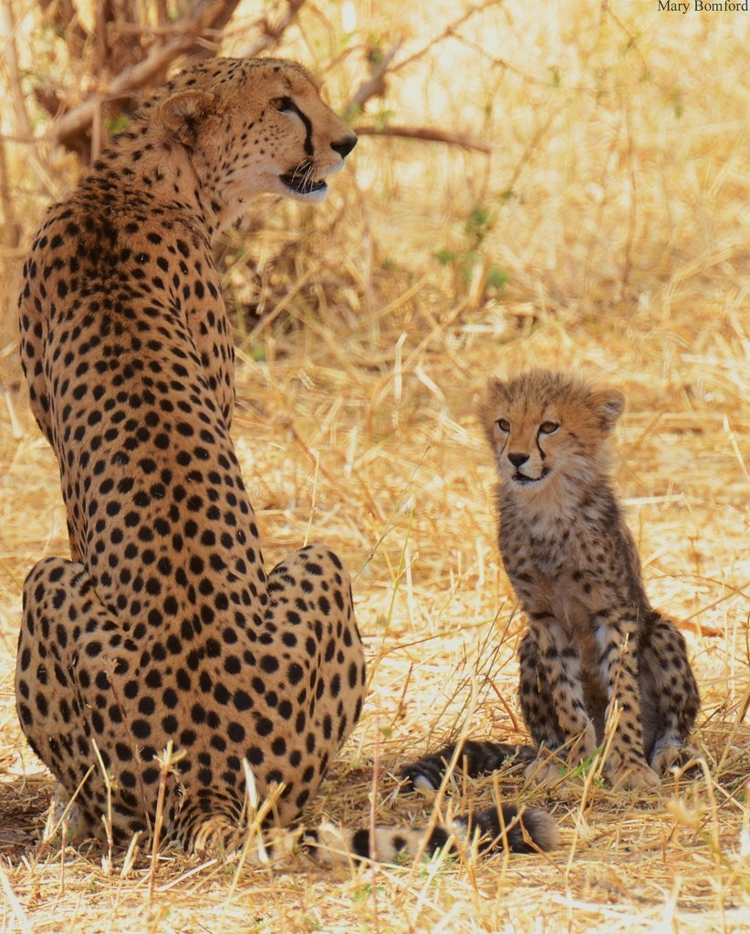 funkysafari:  Cheetah (Acinonyx jubatus)with cub in Tarangire National Park, Tanzania, Africa. by Mary Bomford