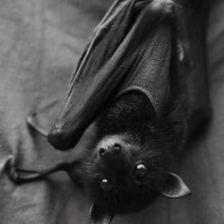 animals Bat Black and White night animal dark bats Witch darkness goth gothic nu goth all black dark blog witchy dark beauty gothic beauty gothic blog
