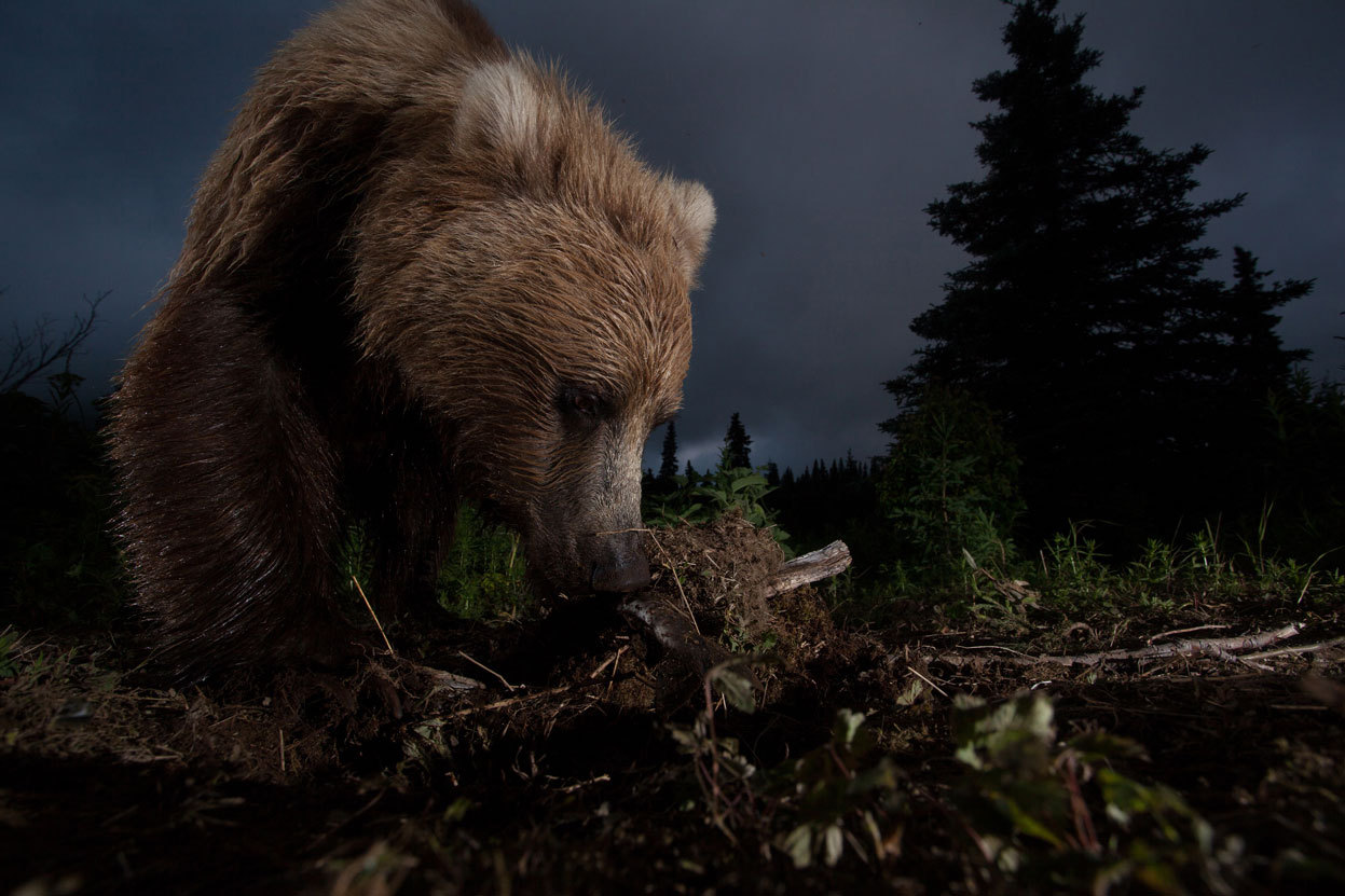 This photo of a wild Alaskan brown bear digging on a game trail was taken with a homemade motion-controlled triggering device hooked up to my DSLR. Location: Bear Creek, Lake Aleknagik, Alaska. [Image: Jason Ching/National Geographic Photo Contest]  See more winning entries from the National Geographic Photo Contest.