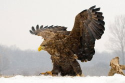 fairy-wren:  White Tailed Eagle. Photo by VirtualWorlds