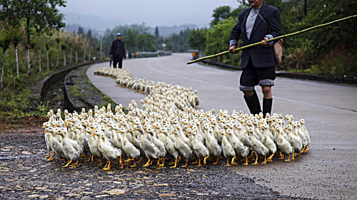 fotojournalismus:  A farmer tends his ducks on April 25, 2013 in Quzhou, China. [Credit : ChinaFotoPress via Getty Images]