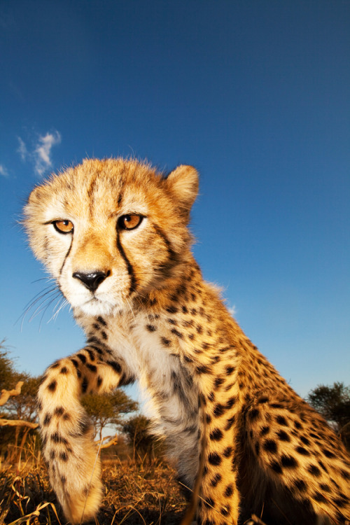 animalkingd0m:  Cheetah Cub by Anthony Ponzo