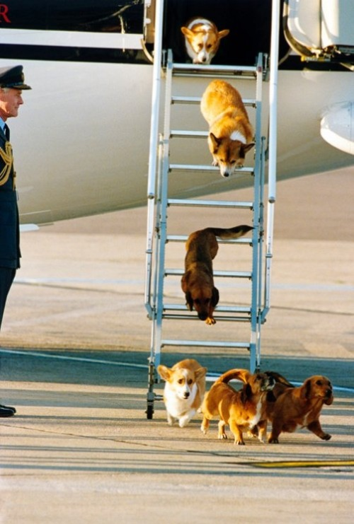 thefrogman:  Photo credit: David Dyson, Camera Press/Redux  Corgis debarking plane!