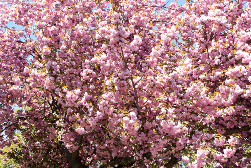 terrysdiary:  Cherry blossoms #1