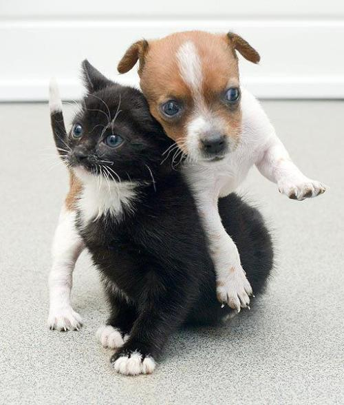 """At just weeks old, Buttons the dog and Kitty the cat were both abandoned from a very young age and are now being hand-reared together. So close is their bond that they sleep together, play together and even feed together."" via And they call it puppy love for abandoned kitten and pup - Battersea Dogs & Cats Home"