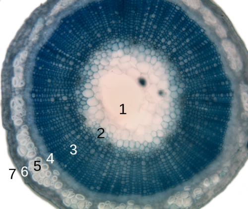 "fuckyeahplantae:  Cross-section of a flax plant stem: 1. Pith 2. Protoxylem 3. Xylem  4. Phloem  5. Sclerenchyma  6. Cortex 7. Epidermis Stolen from this Wikipedia article: http://en.wikipedia.org/wiki/Cortex_%28botany%29  after I saw an illustration that said the purpose of the cortex was to ""protect the stem"" and I was like bitches, please. The cortex has soooo many other functions besides bodyguard. Its cells are largely undifferentiated, meaning they can become and later do just about anything. Cortical cells can store carbohydrates, resins, tannins, and tons of other substances. The innermost layer of cortical cells is differentiated into a layer called the endodermis, which helps a plant regulate water and nutrient movement. Some cortical cells even have chloroplasts, and we all know how important photosynthesis is to a plant…"