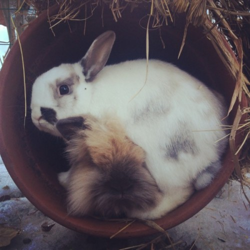 dailybunny:  Move Over! A Second Bunny Wants to Lie Down in the Planter, Too. Thanks, Hanna!