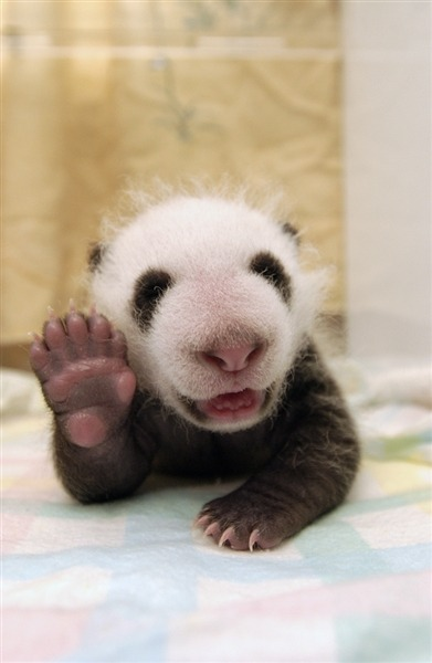 inothernews:  (Photo of a panda cub appearing to wave at you at the Conservation and Research Center for the Giant Panda in Sichuan, China by Dr. Katherine Feng / Solent News via NBC News)