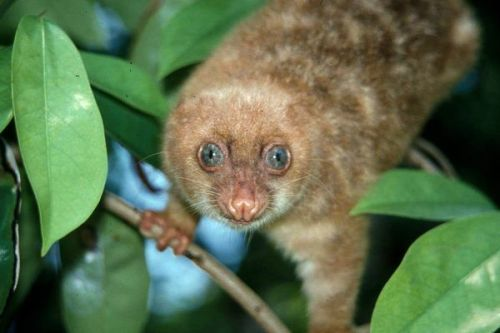 astronomy-to-zoology:  Blue-eyed Spotted Cuscus (Spilocuscus wilsoni) is a species of marsupial native to the islands of Biak and Supori of West Papua. This animal is very rare and a combination of habitat loss, hunting and a small range has caused the cuscus to be listed as critically endangered. Several recent suveys have failed to find any individuals left in the wild. The species gets its common name due to its distinct bright blue eyes and spotted fur. Phylogeny Animalia-Chordata-Mammalia-Marsupialia-Diprotodontia-Phalangeridae-Spilocuscus-wilsoni Image Source: 1