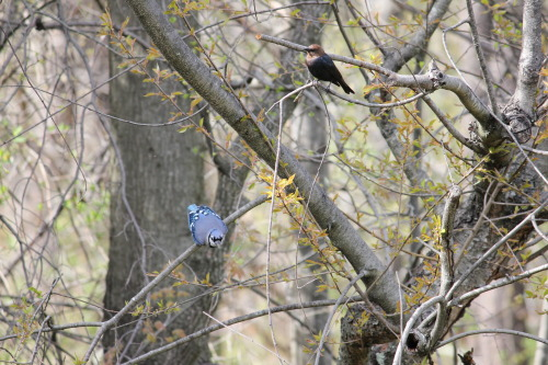 unexpectedornithologist:  Blue Jay, Brown-headed Cowbird