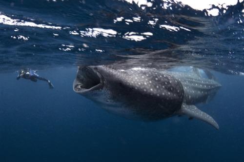 thelovelyseas:  A photographer gets close to a whaler shark feeding on the surface by Mauricio Handler