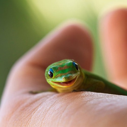 9gag:  Ridiculously photogenic gecko