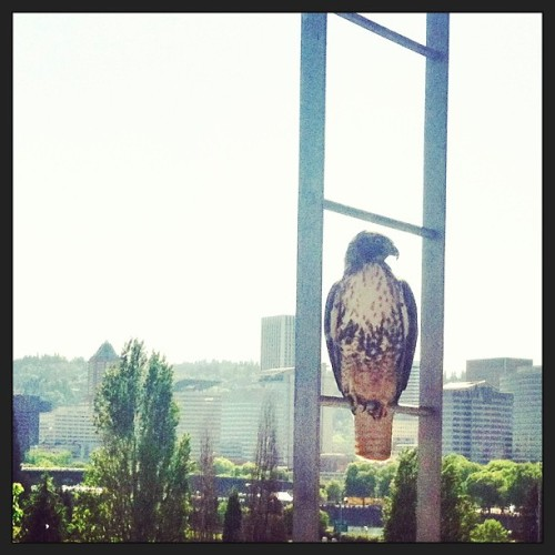 Awesome visit from a falcon today! #falcon #pdx #concrete5  (at Towne Building)