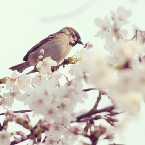雀と桜 Sparrow and Sakura #japan #tokyo #Sparrow #sakura #bird #birds #photooftheday #webstagram #instagood #photooftheday #picoftheday #instadaily #instaphoto