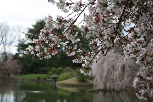 lynnr: The cherry blossom trees at Brooklyn Botanic Garden are almost as cool as the ones in DC. I saw them this past weekend and wrote about it for Daily NYC.