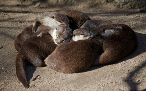 dailyotter:  No Nap Is Cozier Than When Otters Nap Via Missud