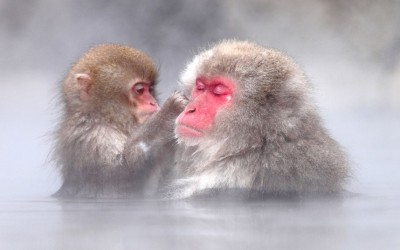 Japanese macaques bathing in the hot springs at Jigokudani Hot Spring Park in Nagano, Japan.  Picture: Kiyoshi Ookawa/Caters