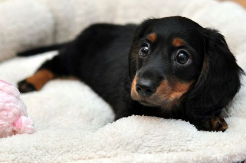 Black & Tan longhaired Dachshund puppy on pinterest.com