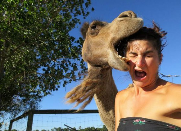 collegehumor:  Camel Photobombs Girl's Picture By Pretty Much Eating Her Face My hungry lady humps.  😂😂dead