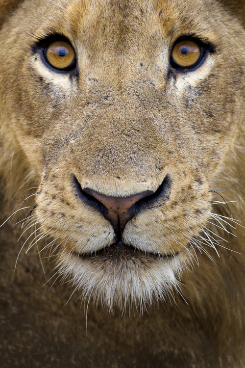 "magicalnaturetour:  ""Lion Eyes"" by Mario Moreno"
