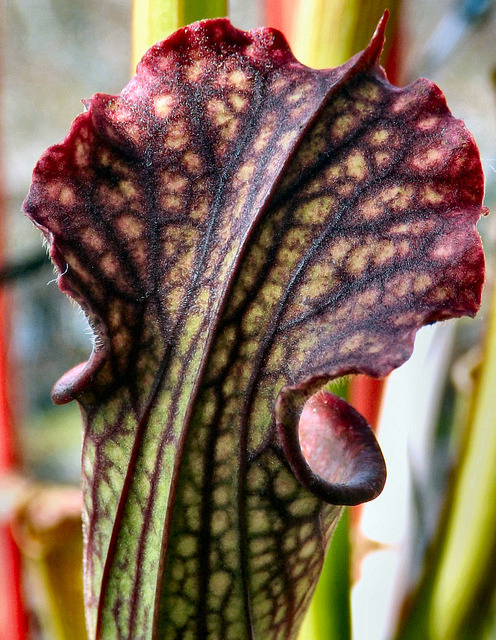 fuckyeahcarnivorousplants:   Pitcher detail