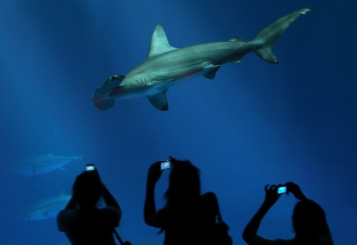 Love #sharks? We just added a hammerhead to the Open Sea exhibit, measuring 5-foot-11 and weighing 68 pounds. That makes three large hammerheads on exhibit—as many as we've ever had! Watch them live right now on our web cam!