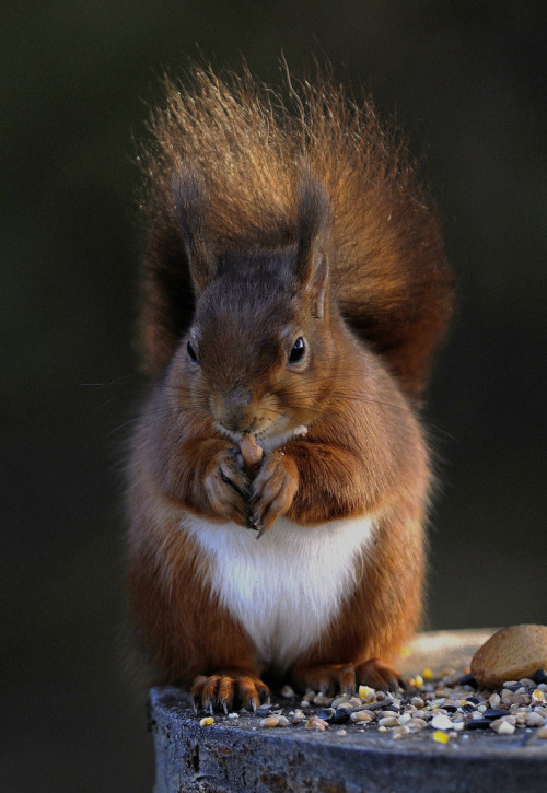 llbwwb:  Cute squirrel (by davy ren2)