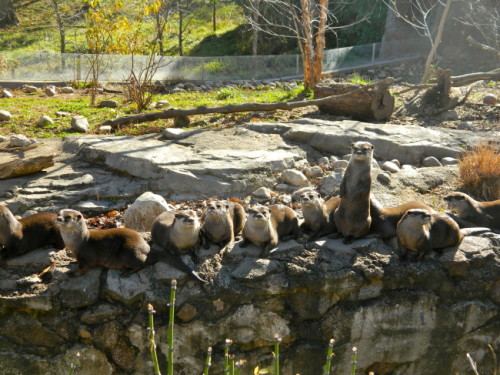 "dailyotter:  Otters Make a Receiving Line When Guests Arrive More at today's Daily Otter post! Thanks to Emily, who tells us that the otters ""all ran and lined up when we walked up.""       !!!!!"