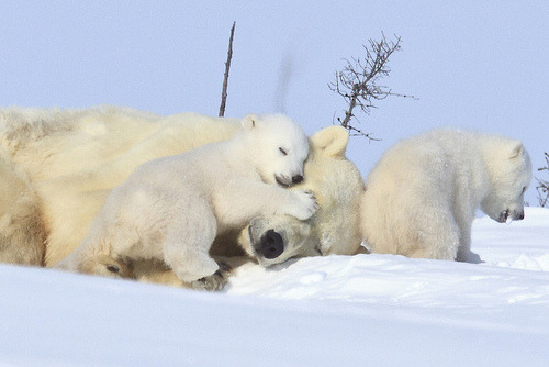 thepolarbearblog:  Sleepy Time by Christine Haines