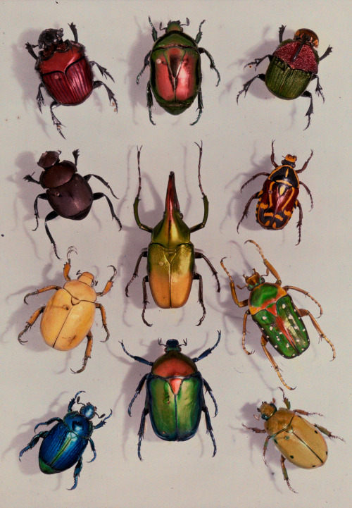 natgeofound:  A group of scarabs from the Scarabaeid family, July 1929.Photograph by Edwin L. Wisherd, National Geographic  HASHTAG BUG LIFE
