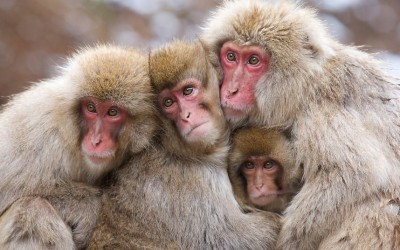 A family of Japanese macaques huddle together for warmth in the mountains of Jigokudani, Nagano, Japan  Picture: Ade Photography/Solent News & Photo Agency