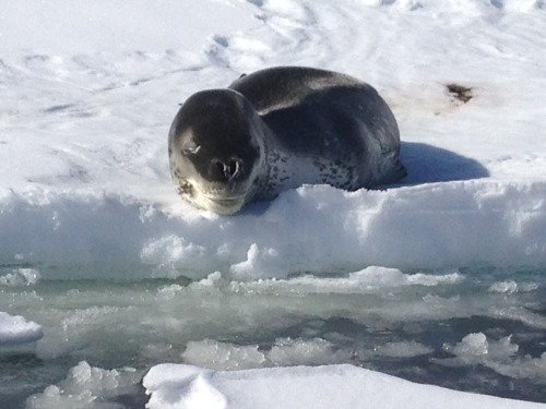 The very reptilian looking (and very dangerous) Leopard Seal.  Antarctica.